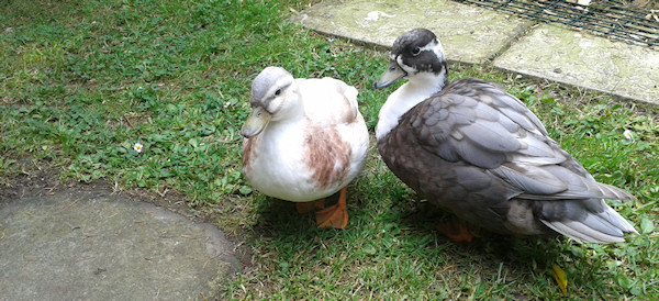 Ducks who ar banned from above pond for antisocial behaviour